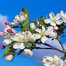 Flowering Crab Apple Blossom by Kenneth Keifer