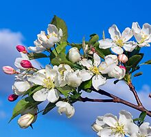 Flowering Crab Apple Blossom by Kenneth Keifer