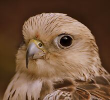 Portrait of a little Hawk by Shehan Fernando