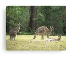 Grey Kangaroos, Arrawarra Canvas Print