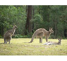 Grey Kangaroos, Arrawarra Photographic Print