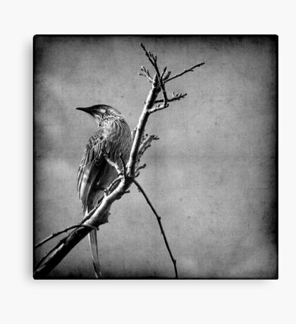 Red Wattlebird Canvas Print