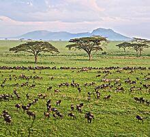 Wildebeest migration by girlonsafari