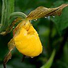 Yellow Lady's Slipper by Larry Trupp