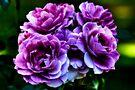 Purple Roses by LudaNayvelt
