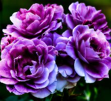 Purple Roses by LudaNayvelt