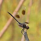 Brachymesia gravida (Four-spotted Pennant) by Jim Johnson
