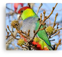 Mr Red Capped Parrot Canvas Print