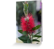 callistemon in the garden Greeting Card