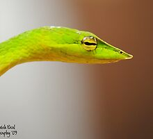 The Vine Snake by Debashish Paul