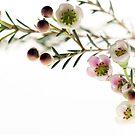 Wax Flower by KitPhoto