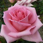 Pink Rose by StaceyH