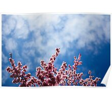 Cherry Blossom reaching for the sky Poster