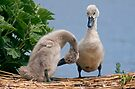 I think you've missed a spot... (Mute Swan Cygnets) by Krys Bailey