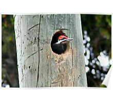 Pileated Woodpecker Offspring Poster