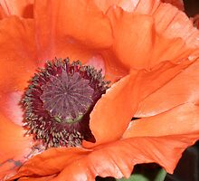 Poppy Series - 4 by karenkirkham