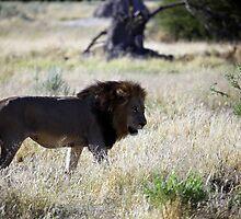 Big Black maned Lion in the Okavango by nymphalid