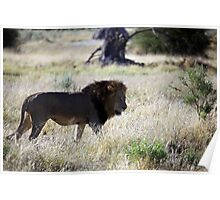 Big Black maned Lion in the Okavango Poster