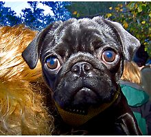 Pugster #1 by Mark Ross