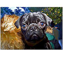 Pugster #1 Photographic Print
