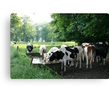 Drinking cows Canvas Print