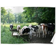Drinking cows Poster