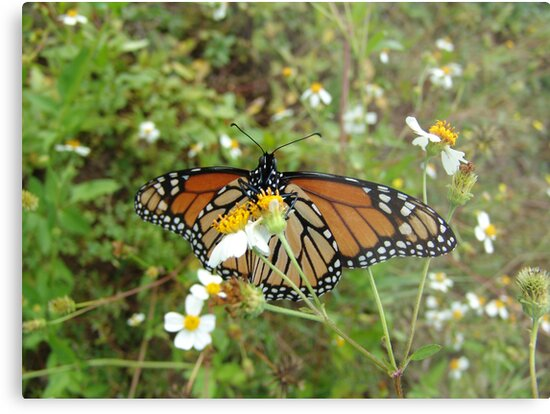 Monarch on Bidens alba by May Lattanzio