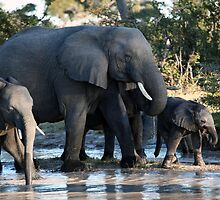 Elephant family near waterhole by nymphalid