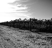 Vineyard by tano
