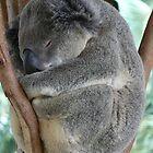 Koala  by StaceyH