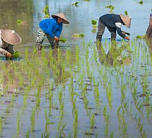 Paddy Field 1 by Werner Padarin