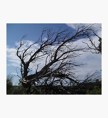 original cedar Photographic Print