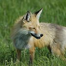Shy Fox by Luann wilslef