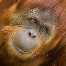 Sumatran Orang-utan by Daniel Attema
