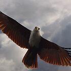 Brahminy Kite - Soaring by Adam Gormley