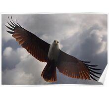 Brahminy Kite - Soaring Poster
