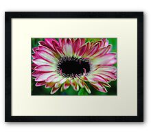 Pink and Cream Gerbera Daisy Unfolding Framed Print