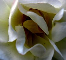 White Rose Close Up by Courtney Jensen