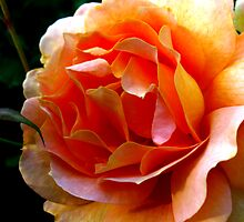 Orange Rose Close Up by Courtney Jensen
