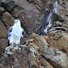 Sea Eagle on cliff - southern Tasmania by gaylene