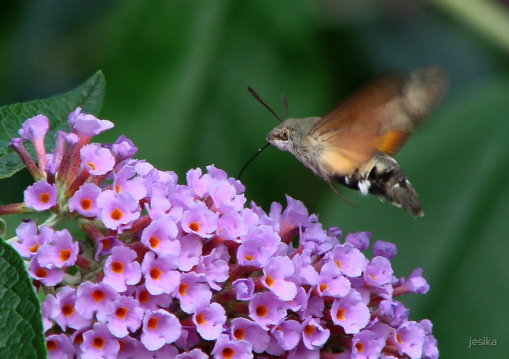 Humming Bird Hawk Moth 1 by jesika
