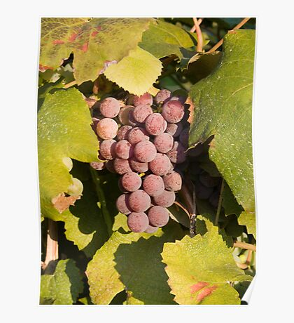 A Vineyard Delight Poster