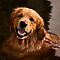 "5 in 'THE COLOUR OF DOGS: GOLDEN' challenge of group '""FOR THE LOVE O…'"