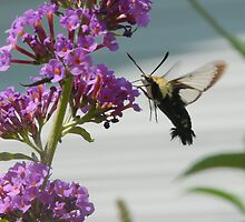 Clearwing Hummingbird Moth 2 by rasnidreamer