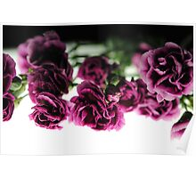Pink Carnations on White Light Poster