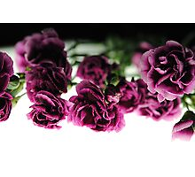 Pink Carnations on White Light Photographic Print