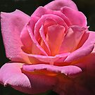 Pink Rose Tiffany by David DeWitt