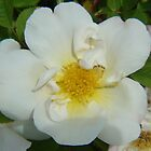White dog rose by sharoncohen