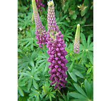 Mauve Lupins Photographic Print