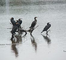 Cormorants and their shadows by sharoncohen
